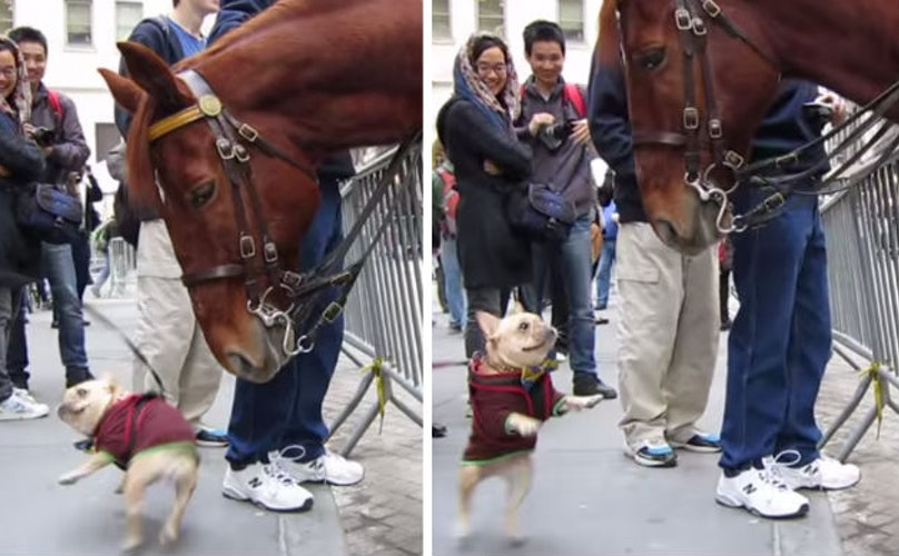Flirtatious Frenchie Meets NYPD Horse And It's Love At First Sight
