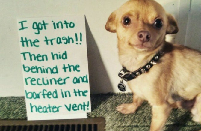 Related: 17 Chihuahuas Prove That When It Comes To Shame, Size Doesn't Matter