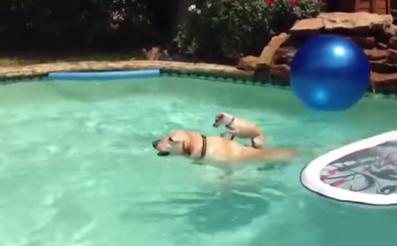 Tiny Dog Uses His Best Friend As A Boat