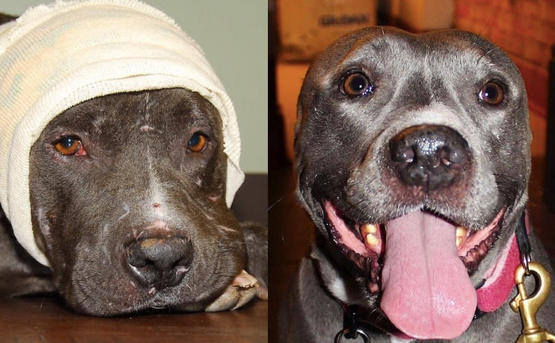 Pit Bull Of The Week: Meet Calista, The Earless Pittipotamus